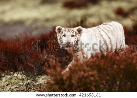 Baby white tiger face surprises in the wild woods of heather. - stock photo