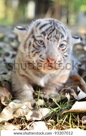 baby white tiger in zoo - stock photo