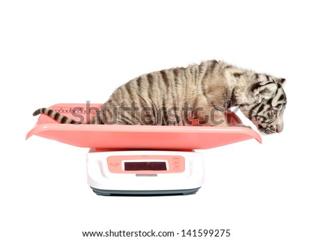baby white tiger on weight scale isolated on white background - stock photo
