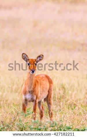 Baby Wild Antelope alone in the bush - stock photo