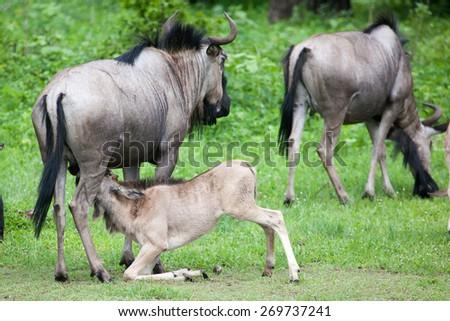 Baby wildebeest drinking milk in Mosi-oa Tunya Nation Park, Zambia, Africa - stock photo