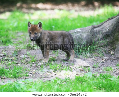 baby wolf - stock photo