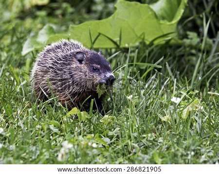 Baby Woodchuck (Marmota monax)  grazing on grass and weeds. - stock photo