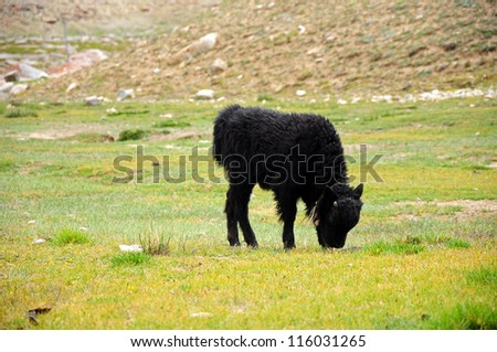 Baby yak in the valley of Ladakh, India - stock photo