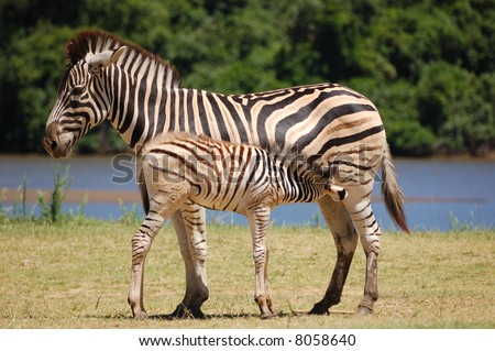 Baby zebra feeding - stock photo