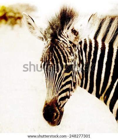 Baby Zebra Portrait - stock photo