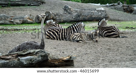 Baby zebra with two big zebras
