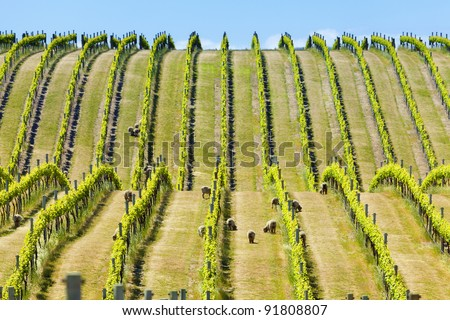 Babydoll sheep grazing in a vineyard - stock photo