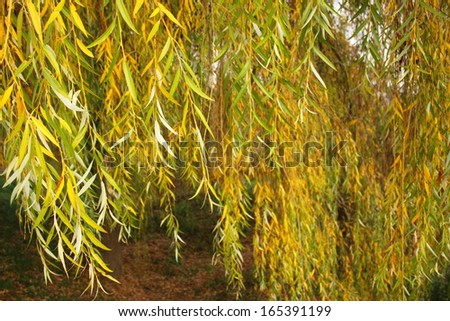 Babylonica or Weeping willow Salix, is a tree belonging to the Salicaceae family - stock photo