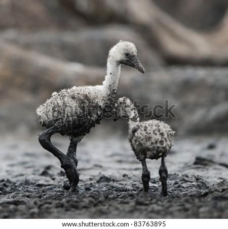 Babys bird of the Caribbean flamingo. A warm and fuzzy babys bird of the Caribbean flamingo at nests. - stock photo