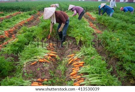 BAC Ninh, Vietnam, February 19, 2016 FG Bac Ninh, Vietnam, harvesting carrots