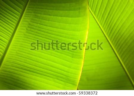 Back light in overlapping green banana leaves. - stock photo