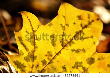 Back-lighted autumn yellow leaf