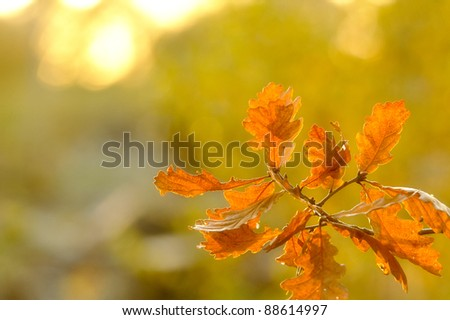 Back lit autumn leaves with soft focus - stock photo