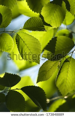 Back lit close up of green Elm leaves.