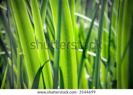Back lit leaves of sedge(vignetted)
