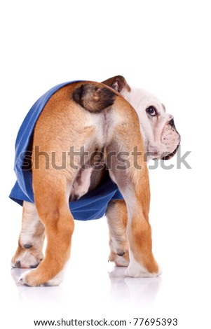 back of an english bulldog puppy wearing nice clothes looking at it's side