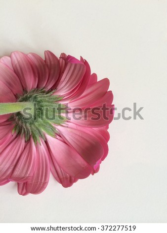 Back of bright pink daisy close up - stock photo