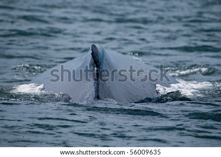 Back of humpback whale - stock photo