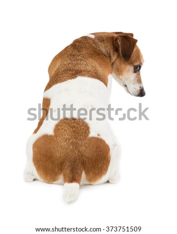 back of the dog pet pup. Unique interesting spots in the shape of a clover on the tail. White background - stock photo