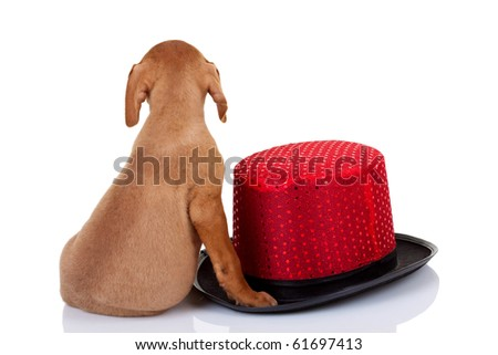 back picture of a baby vizsla dog sitting near a red show hat - stock photo