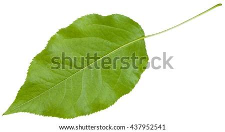 back side of green leaf of Sambucus racemosa ( elderberry , red elderberry, Red-berried Elder) isolated on white background - stock photo