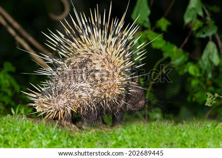 Back side of nocturnal animals Malayan porcupine(Hystrix brachyura) show the sharp feather in nature at Kaengkrajarn national park,Thailand  - stock photo