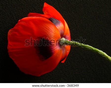 Back side of poppy - stock photo