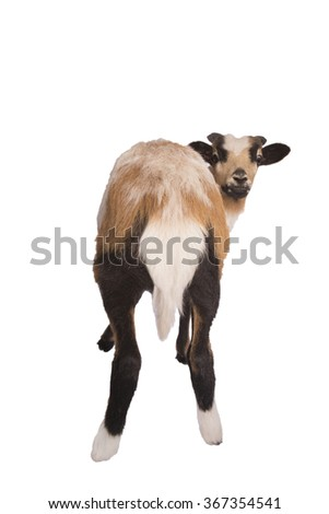 Back side of sheep showing tail isolated - stock photo