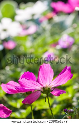 Back view of cosmos flowers. - stock photo