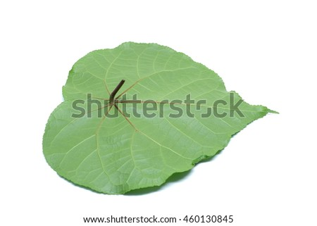 Back view of green leaf on clean background.