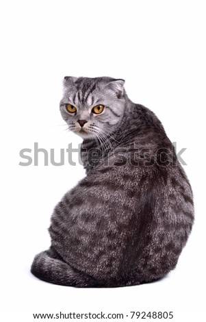 Back view of isolated scottish fold cat sitting with face turned to the viewer - stock photo