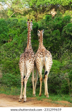 Back view on two South African giraffes feeding from the green bushes. - stock photo