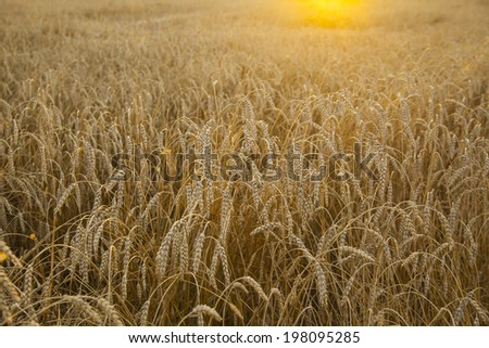 backdrop of ripening ears of yellow wheat field in perspective on orange sun rays light  background of the setting sunrise