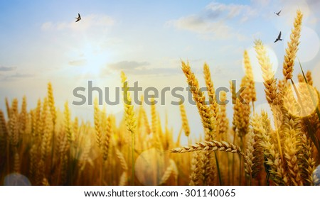 backdrop of ripening ears of yellow wheat field on the sunset  - stock photo