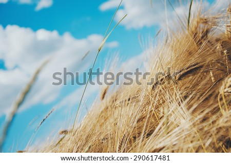 backdrop of ripening ears of yellow wheat field on the sunset cloudy orange sky background - stock photo