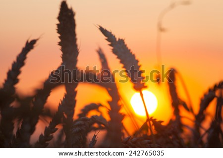 backdrop of ripening ears of yellow wheat field on the sunset cloudy orange sky background Copy space of the setting sun rays on horizon in rural meadow  - stock photo