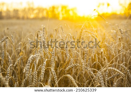backdrop of ripening ears of yellow wheat field on the sunset cloudy orange sky background of the setting sun on horizon - stock photo