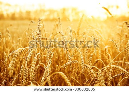 backdrop of ripening ears of yellow wheat field on the sunset yellow sky on background. Copy space of setting sun rays on horizon in rural meadow. Close up nature photo. Idea of a rich harvest - stock photo
