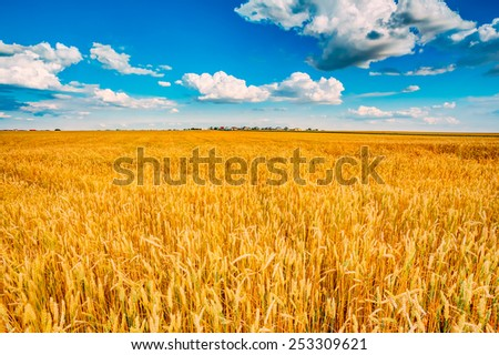 Backdrop of yellow wheat ears field on the cloudy blue sky background. Rich harvest wheat field, fresh crop of wheat. - stock photo