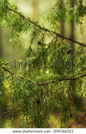 background blurred branches of juniper berries in a summer forest - stock photo