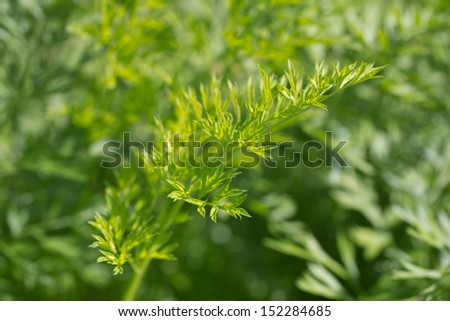 background carrot tops