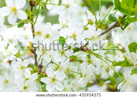 Background cherry tree blossom. Blooming cherry tree. Soft focus, shallow DOF photo. - stock photo