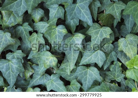Background detail: wall of with green ivy leaves