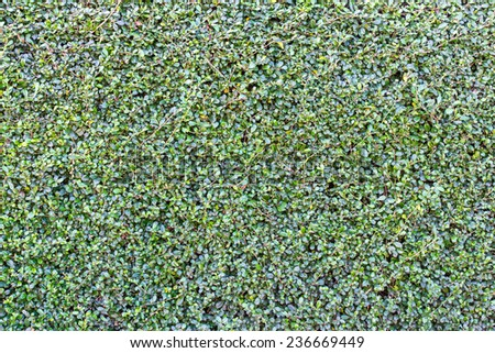Background fence many small leaves which grow naturally beautiful. - stock photo
