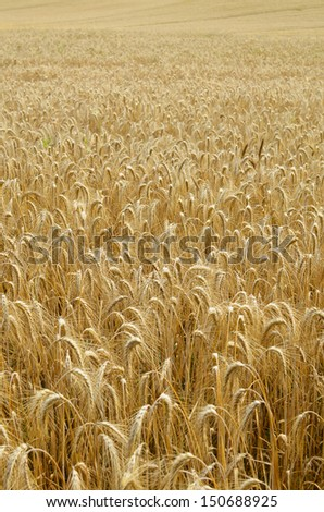Background Field of grain in gold color