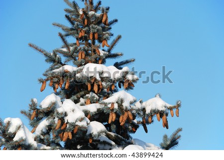 Background from a fur-tree covered with snow
