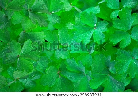 Background from Anemone Green Lush Leaves Covered in Dew  - stock photo