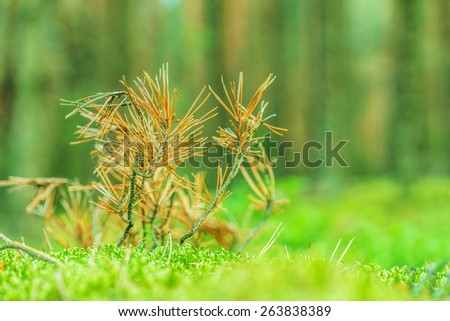 Background from branches of dry fur-tree - stock photo