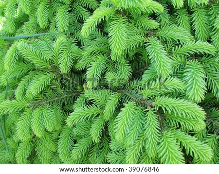 Background from bright green needles - stock photo